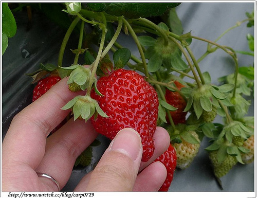 【苗栗】大湖採草莓打工換宿 @魚樂分享誌