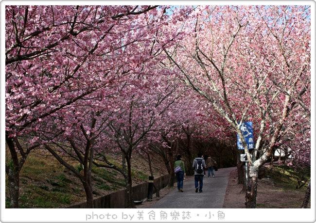 【台中】2013武陵農場賞櫻~紅粉佳人美不勝收櫻花雨 @魚樂分享誌