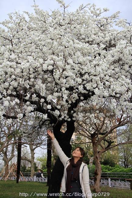 2013釜山櫻花自由行之龍頭山公園大白櫻 @魚樂分享誌