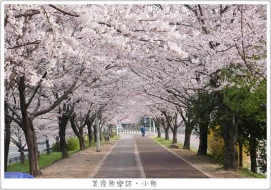 【韓國釜山】三樂江邊公園 삼락강변공원/兩公里超長超美櫻花步道 @魚樂分享誌