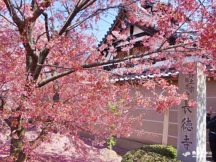 長德寺櫻花