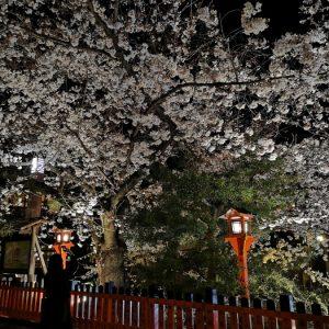 祇園白川夜櫻